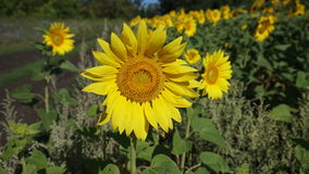 Yellow sunflower royalty free stock photo