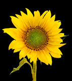 Yellow sunflower, close up, isolated, cutout Royalty Free Stock Image