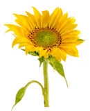 Yellow sunflower close up Royalty Free Stock Photo