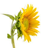 Yellow sunflower, close up, isolated, cutout Stock Image