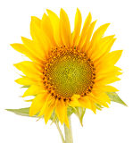 Yellow sunflower, close up, isolated, cutout Stock Photography
