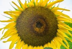 Yellow sunflower close-up. Suflower blossom. stock photography