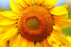 Yellow sunflower close up. Stock Photography