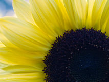 Yellow Sunflower Closeup Royalty Free Stock Images