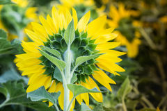 Yellow sunflower closeup so beautiful. Yellow sunflower behide closeup so beautiful royalty free stock photos