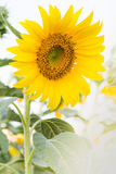 Yellow sunflower closeup so beautiful Royalty Free Stock Photography