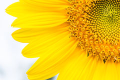 Yellow sunflower closeup so beautiful Stock Images