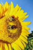 Yellow Sunflower Closeup Macro stock photography