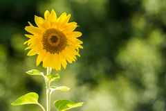 Yellow Sunflower Closeup. Nature Landscape With Yellow Sunflower Closeup Royalty Free Stock Photography
