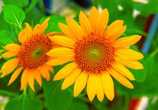 Free Yellow Sunflower Closeup Photo. Summer Meadow With Yellow Flowers. Open Daisy Flower Background Royalty Free Stock Images - 138116599