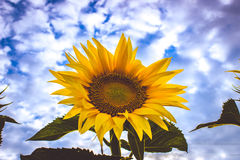 Yellow Sunflower closeup. Photo taken outdoor in field Royalty Free Stock Image