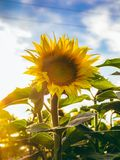 Yellow Sunflower closeup. Photo taken outdoor in field Stock Images