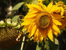 Yellow Sunflower in Closeup Photography Stock Image