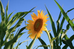 Yellow sunflower in corn field. Sunflower in corn field with blue sky background Stock Photography