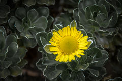 Yellow sunflower. With dark green leafs Royalty Free Stock Photo