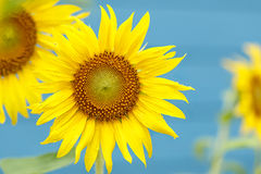 Yellow sunflower with dew drop Stock Photography