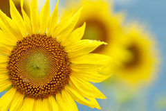 Yellow sunflower with dew drop Stock Photo