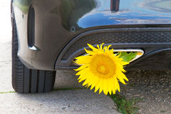 Yellow sunflower in a exhaust Royalty Free Stock Photo