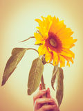 Yellow sunflower in female hand Stock Images