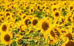 Yellow sunflower field background. Field of blooming sunflowers on the sunset, background stock images