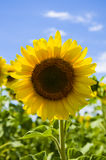 Yellow sunflower in the field Royalty Free Stock Photo