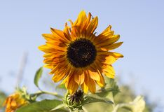 Yellow sunflower on field. A close up of an yellow sunflower growing on a field in the summer Stock Photo