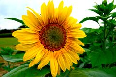 Yellow sunflower in field on farm Stock Image