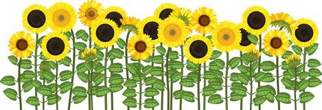 Yellow sunflower field. Flower border. Yellow sunflower field isolated on white background. Flower border stock illustration