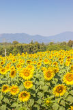 Yellow sunflower field. Sunflower field on mountain background Royalty Free Stock Images
