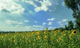 Yellow Sunflower Field Under Blue and White Sky Stock Photography