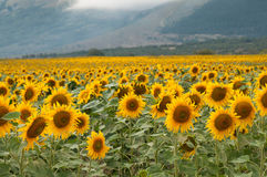 Yellow sunflower fields in summer days Stock Images