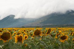 Yellow sunflower fields in summer days Royalty Free Stock Photo