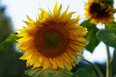 Yellow sunflower flower close-up summer Royalty Free Stock Images
