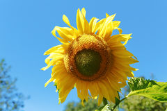 Yellow sunflower flower close-up summer Stock Images