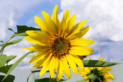Yellow sunflower flower growing in the garden against a blue summer sky with clouds stock photo