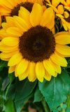 Yellow sunflower flowers with green leaves in a bouquet royalty free stock photos