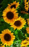 Yellow sunflower flowers with green leaves in a bouquet stock photo