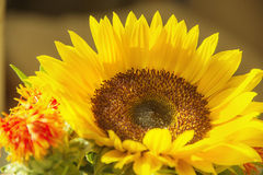 Yellow sunflower. Flowers, red, photograph taken at close range, the green branches, the image close Royalty Free Stock Photography