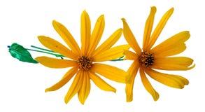 Yellow sunflower fresh, photo manipulation Stock Photo