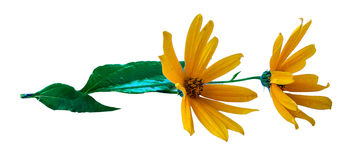 Yellow sunflower fresh, photo manipulation Stock Images
