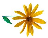 Yellow sunflower fresh, photo manipulation Royalty Free Stock Photography