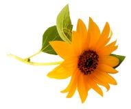 Yellow sunflower fresh, photo manipulation Royalty Free Stock Photos