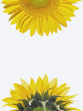 Yellow sunflower Royalty Free Stock Photography