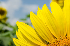 Yellow sunflower in the garden. On holiday Royalty Free Stock Photos
