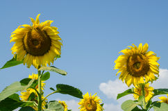 Yellow sunflower in the garden. On holiday Royalty Free Stock Photography