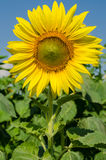 Yellow sunflower in the garden. On holiday Royalty Free Stock Images