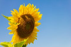 Yellow sunflower in the graden on sunshine day royalty free stock image