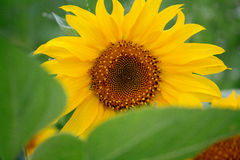 A yellow sunflower with green leaves Royalty Free Stock Photography