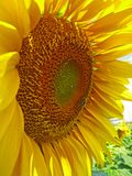 Yellow sunflower with green leaves on a bright blue sky background. Royalty Free Stock Image