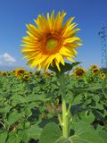 Yellow sunflower with green leaves on a bright blue sky background. Stock Photography